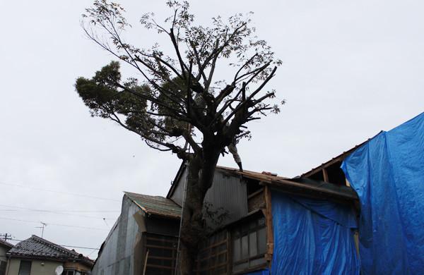 のび放題だった枝を整理して樹形を整えます
