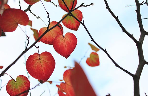 マルバの紅葉は透き通るような赤です。